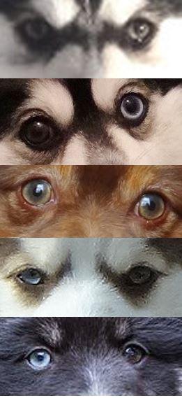 Die Augen des Pomsky können viele Farben annehmen