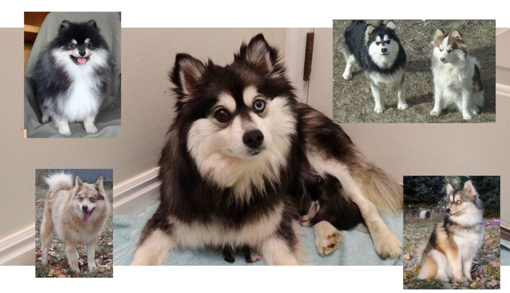 The Pomsky is a new hybrid dog breed from the USA.