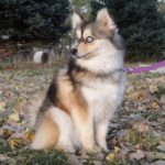 The breeding goal of the Pomsky is the beautiful blue eyes!